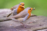 European robin pair squabbling over food