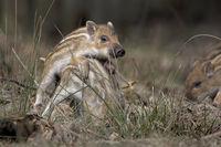 Wild Boars (Sus scrofa), piglet, standing, Schleswig-Holstein, Germany, Europe