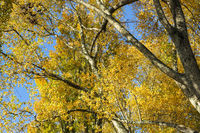 Autumn trees from below