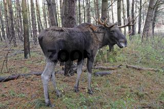 Europaeischer Elch, Alces alces,   in natuerlicher Umgebung