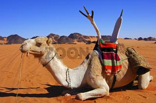 Reitkamel der Tuaregnomaden ruht im Wüstensand