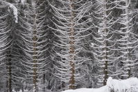 Harz Mountains - Snow-covered forest on the slopes of the Brocken, Germany