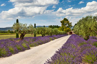 Path with lavender in Provence
