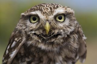 Steinkauz, (Athene noctua), little owl