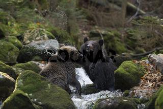 abgewatscht... Europäische Braunbären *Ursus arctos*