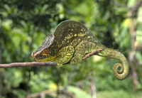 Male Panther Chameleon Giant Yellow(Calumma parsonii)