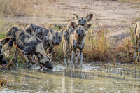 Pack of African wild dogs drinking.