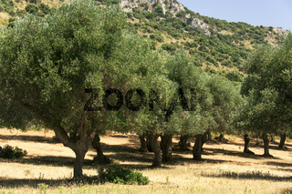 Alte Olivenbäume in alten Bauernland der Maremma, Varese, Toskana, Italien