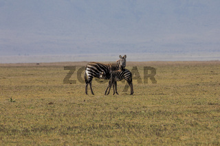 Zebra mit seinem Jungen
