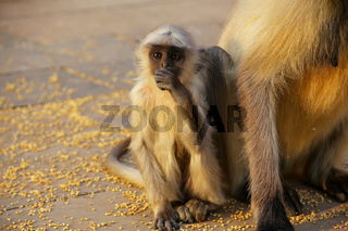 Baby gray langur sitting by mother in Amber Fort, Jaipur, Rajasthan, India