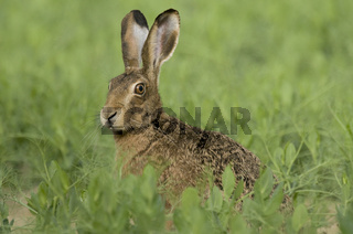 Feldhase, European Hare,