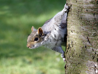 A squirrel peering from behind a tree