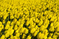 Field of yellow tulips  for the production of flower bulbs, Bollenstreek, Netherlands