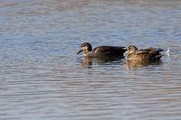 gadwalss on the pond