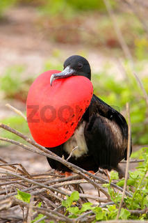 Male Magnificent Frigatebird with inflated gular sac on North Seymour Island, Galapagos National Park, Ecuador