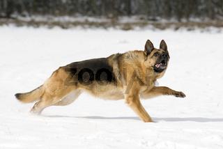 Deutscher Schaeferhund im Schnee