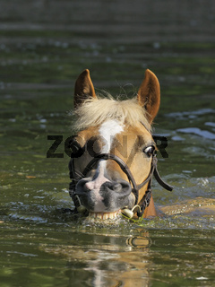 Haflinger beim Schwimmen