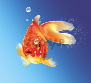 Gold fish facing the viewer, with some water bubbles, on blue gradient background.