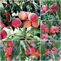 Close up of the ripe peaches on branch collage og photos