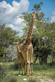 Giraffes in Etosha national park, Namibia