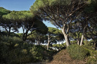 Toskana Pine-Hill