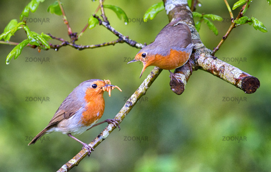 Male European Robin feeding his mate in the woods