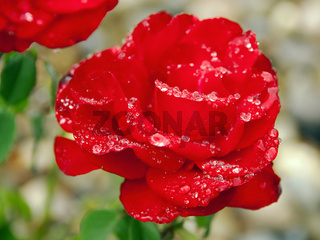 perfect red rose with raindrops