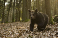 in a hurry... European Brown Bear *Ursus arctos*