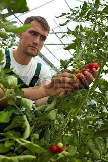 Qualitätskontrolle bei Tomaten