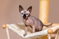 Young colorpoint sphynx cat in hammock