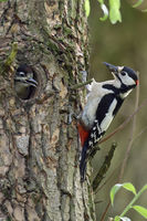 with food in its beak... Great Spotted Woodpecker  *Dendrocopos major*