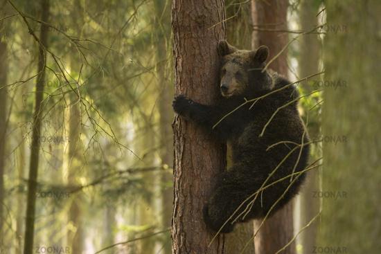 young cub climbing up a tree... European Brown Bear *Ursus arctos*