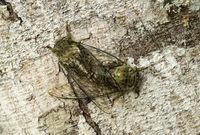 Mating neotropical Fidicina cicadas, Ecuador
