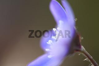 Dreilappiges Leberbluemchen, Hepatica nobilis, Liverwort