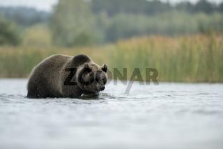 im Wasser... Europäischer Braunbär *Ursus arctos*