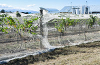 grape vines with netting