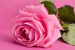 pink rose on magenta background