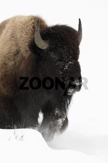 kraftvoll...  Amerikanischer Bison *Bison bison*