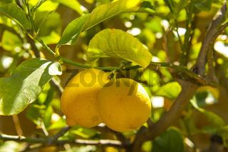 Zitronenbaum mit reifen gelben Früchten, Toskana, Italien