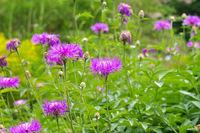 Weißliche Flockenblume oder Centaurea dealbata - perennial cornflower or Centaurea dealbata flower