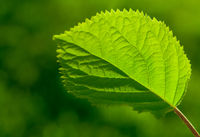 Green Leaf With Veinlet