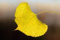 A Single Aspen Leaf in Autumn