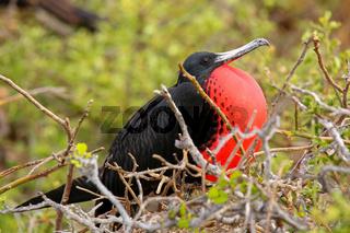 Male Magnificent Frigatebird with inflated gular sac on North Seymour Island, Galapagos National Park, Ecuador