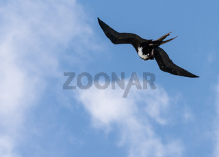 Great Frigatebird off Kauai at Kilauea