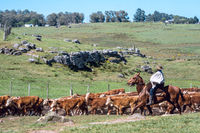 Gauchos (South American cowboys) collect the herd and drive it into the corral