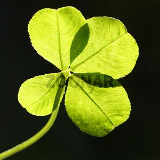 Vierblättriges Kleeblatt im Gegenlicht,  four-leaf clover in backlight