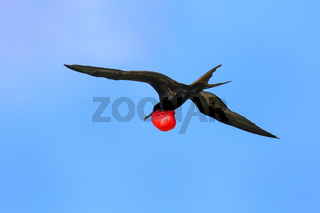 Male Great Frigatebird flying in blue sky, Galapagos National Park, Ecuador