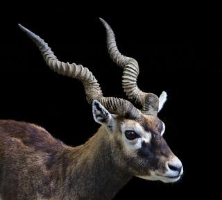 Porträt einer Hirschziegenantilope