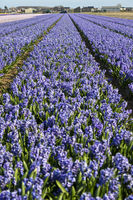 Field with blooming blue hyacinths, Bollenstreek region, South-Holland, Netherlands