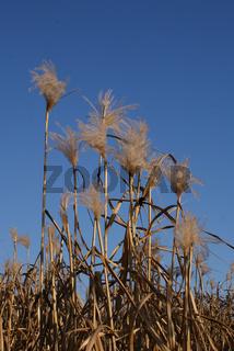 Miscanthus sinensis, Chinaschilf, Silver Grass